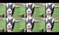 goats screaming all day