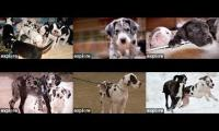 Service Dog Project Great Dane Cams