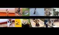 Thumbnail of Funny Animals Pets Compilation Try Not Laugh Garden